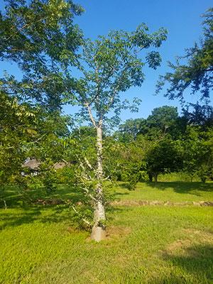 Der südlichste Baobab Baum in Südafrika?